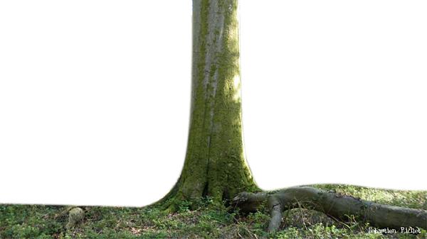 arbre hêtre